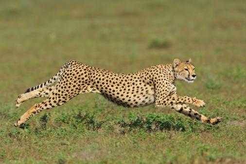 Big Cat「cheetah of Serengeti」:スマホ壁紙(14)