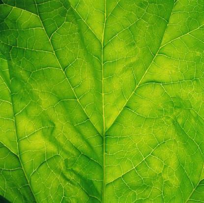 Leaf Vegetable「Spinach leaf, detail」:スマホ壁紙(1)