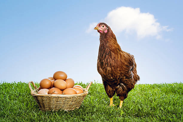 Hen with organic brown eggs piled in a wicker basket:スマホ壁紙(壁紙.com)