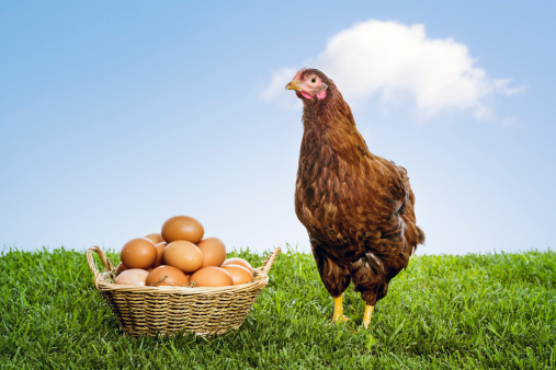Hen「Hen with organic brown eggs piled in a wicker basket」:スマホ壁紙(8)