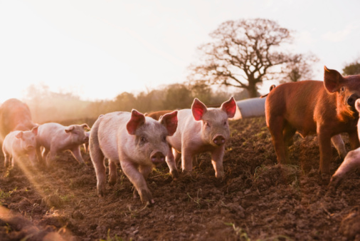 Pig「Piglets in barnyard」:スマホ壁紙(11)