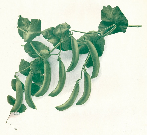 White Background「'Green Peas', c1908」:写真・画像(10)[壁紙.com]