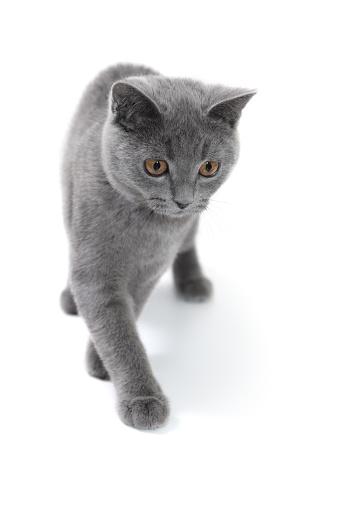 子猫「4 ヶ月のグレイの英国ショートヘア種の猫」:スマホ壁紙(16)