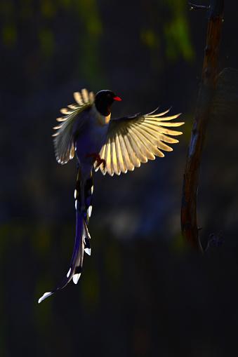 朝顔「Red-billed blue birds」:スマホ壁紙(10)