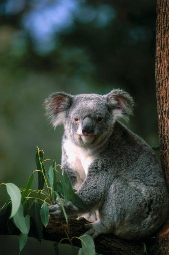 Koala「Koala Bear」:スマホ壁紙(17)