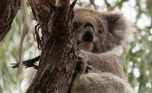 Koala「Koala bear sitting in a tree, Raymond Island, Victoria, Australia」:スマホ壁紙(2)