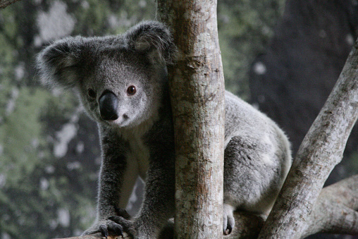 コアラ「Koala bear sitting in a tree, Queensland, Australia」:スマホ壁紙(11)