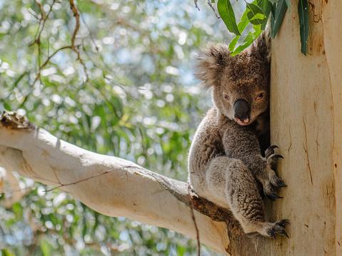 コアラ「Koala bear sitting in a gum tree, Melbourne, Australia」:スマホ壁紙(19)