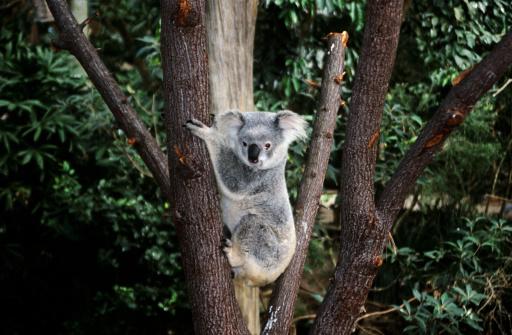 コアラ「コアラベアクライミング、木」:スマホ壁紙(2)