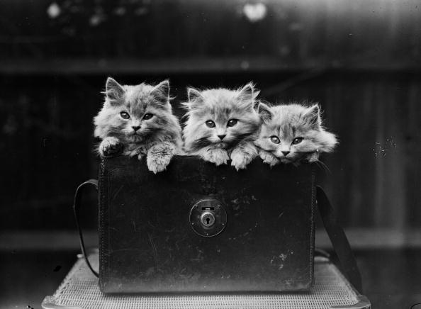 Kitten「Persian Kittens」:写真・画像(8)[壁紙.com]