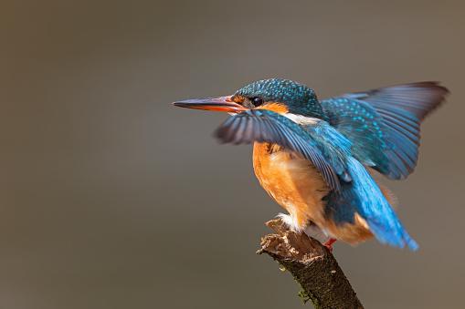 Beak「Landing common kingfisher (Alcedo atthis)」:スマホ壁紙(4)