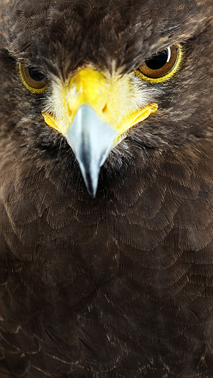Hawk - Bird「Harris hawk close up portrait.」:スマホ壁紙(19)