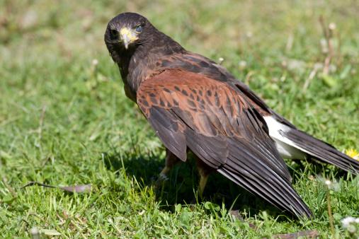 Harris Hawk「Harris? Hawk (Parabuteo unicinctus)」:スマホ壁紙(15)