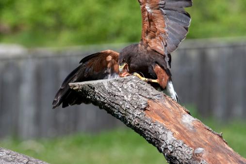 Harris Hawk「Harris? Hawk (Parabuteo unicinctus)」:スマホ壁紙(17)