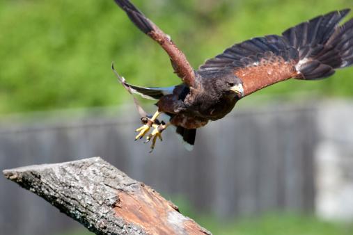 Harris Hawk「Harris? Hawk (Parabuteo unicinctus)」:スマホ壁紙(16)