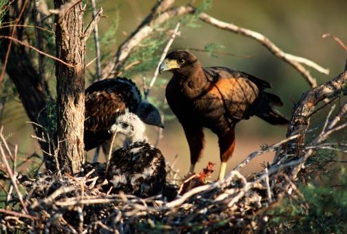 Harris Hawk「Harris hawk at nest with young」:スマホ壁紙(11)
