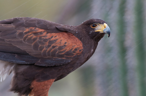 Harris Hawk「Harris' Hawk (Parabuteo unicinctus)and Desert Rain」:スマホ壁紙(19)
