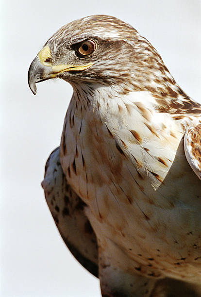 Harris hawk (Parabuteo unicinctus), close-up:スマホ壁紙(壁紙.com)