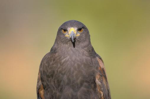 Harris Hawk「Harris hawk」:スマホ壁紙(18)