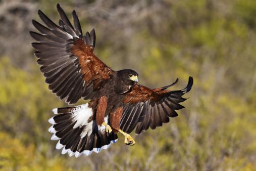 Harris Hawk「Harris Hawk Landing on Dead Tree Branch」:スマホ壁紙(5)
