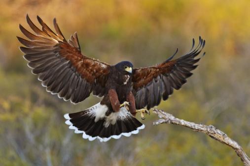 Harris Hawk「Harris Hawk Landing on Dead Tree Branch」:スマホ壁紙(7)