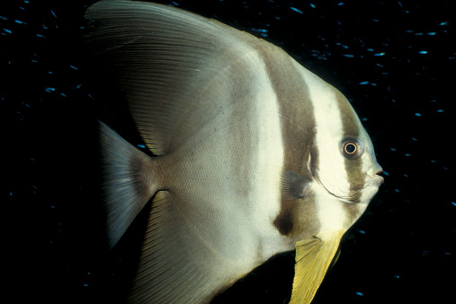 熱帯魚「Longfin spadefish, South Ari Atoll, Maldives.」:スマホ壁紙(14)