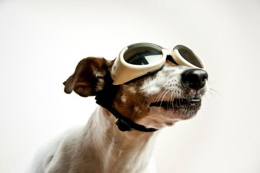 Cool Attitude「Dog with Sunglasses」:スマホ壁紙(1)