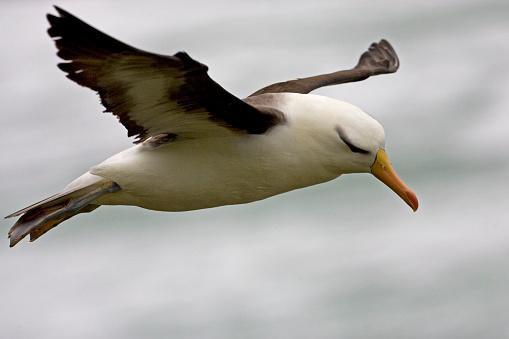 Falkland Islands「Black-browded albatross in flight in the Falkland Islands」:スマホ壁紙(8)
