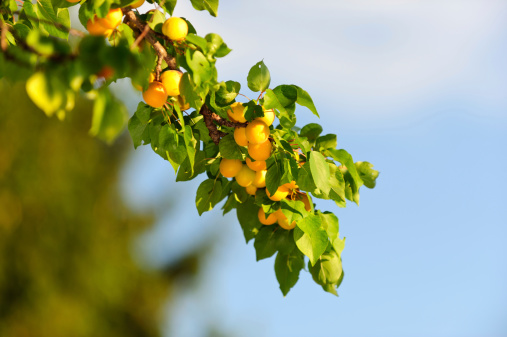 Apricot Tree「Branch with apricots against blue sky」:スマホ壁紙(5)
