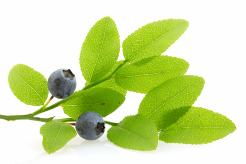 Blueberry「Branch with huckleberries, isolated」:スマホ壁紙(14)