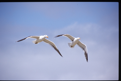 Falkland Islands「Kelp Gulls, Falkland Islands」:スマホ壁紙(12)