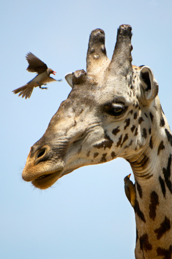 Giraffe「Red-billed Oxpecker & Giraffe, Ruaha NP, Tanzania」:スマホ壁紙(11)