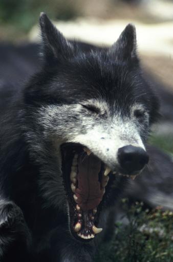 Wolf「yawning wolf」:スマホ壁紙(1)