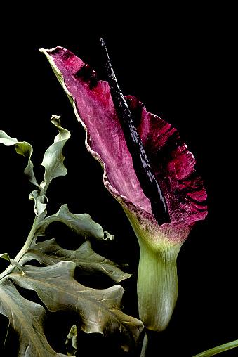 Dragon「Dracunculus vulgaris (common dracunculus, dragon arum, the black arum, dragon lily)」:スマホ壁紙(12)