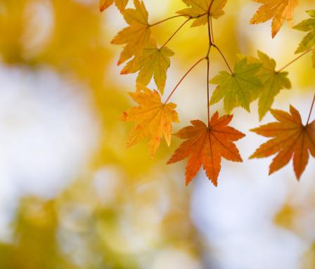Japanese Maple「Autumn」:スマホ壁紙(11)