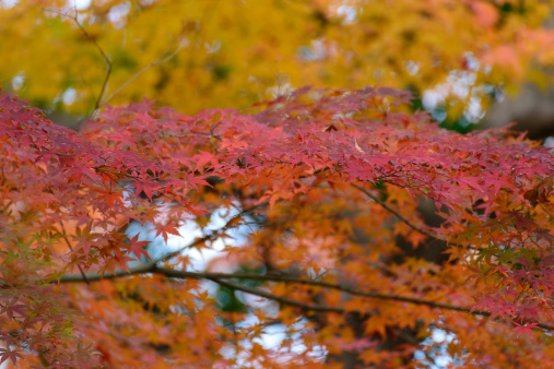 Japanese Maple「Autumn」:スマホ壁紙(12)