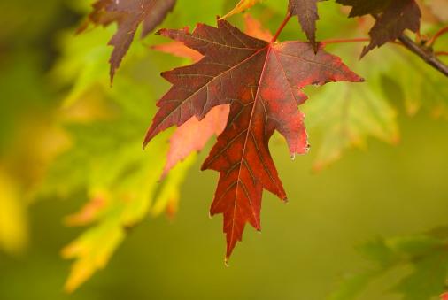 Japanese Maple「Autumn」:スマホ壁紙(15)