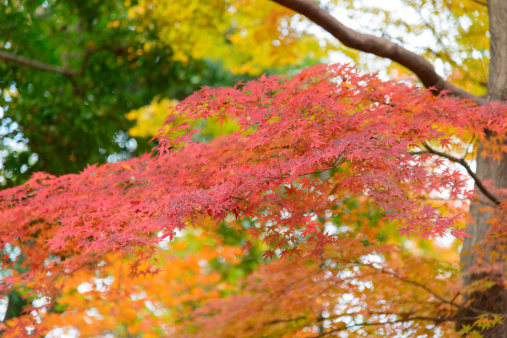 Japanese Maple「Autumn」:スマホ壁紙(11)