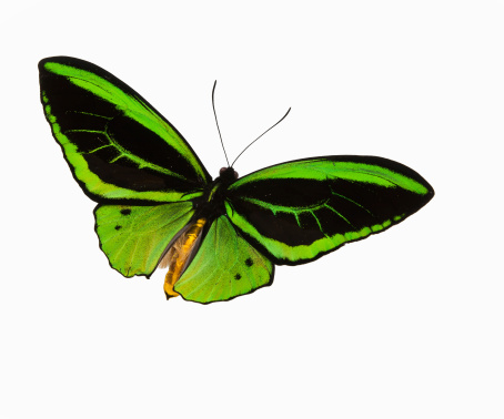 Fly - Insect「Green patterned butterfly flying against a white backdrop」:スマホ壁紙(18)