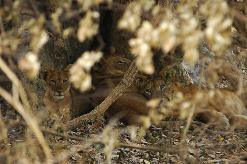 Queen Elizabeth National Park「Lions cubs, Queen Elizabeth National Park」:スマホ壁紙(10)