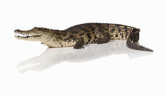 Animal Teeth「Crocodile (Crocodylus)」:スマホ壁紙(15)