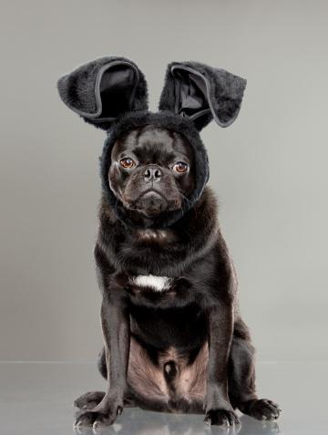 Animal Ear「Black pug wearing black bunny ears」:スマホ壁紙(5)
