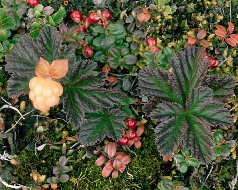Arctic National Wildlife Refuge「Cloudberry Plant in Arctic Tundra」:スマホ壁紙(13)