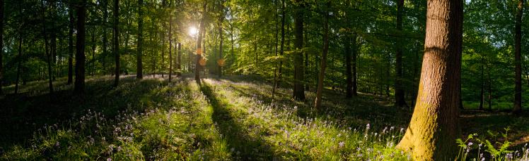 Copse「Golden sunrise in idyllic summer wildflower forest lush foliage panorama」:スマホ壁紙(11)