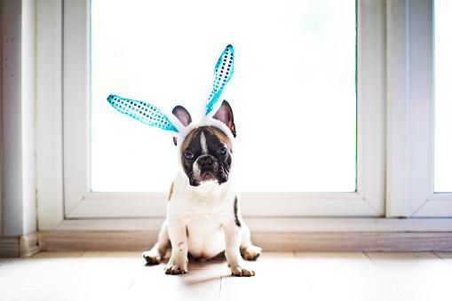 Easter「Bulldog with rabbit ears」:スマホ壁紙(2)
