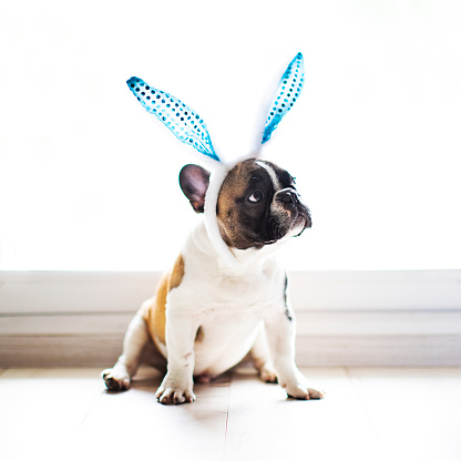 Fun「Bulldog with rabbit ears」:スマホ壁紙(1)