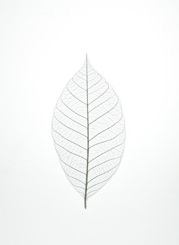 Leaf Vein「Leaf Skeleton」:スマホ壁紙(8)