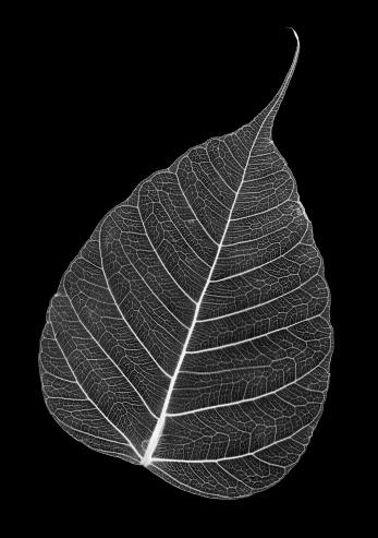 Animal Skeleton「Leaf skeleton」:スマホ壁紙(1)