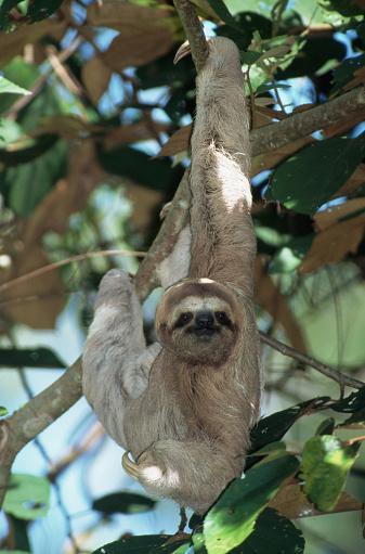 Three-toed Sloth「Three-Toed Tree Sloth」:スマホ壁紙(17)