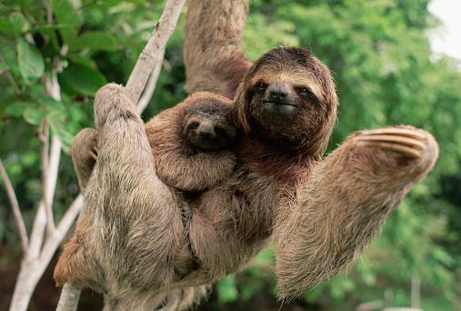 Three-toed Sloth「Three-Toed Tree Sloth With Young」:スマホ壁紙(4)